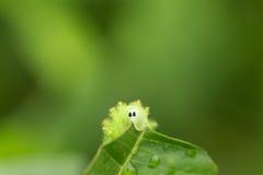 Ono przygląda się przyglądać się Małej gąsienicy je zielonego liść Obraz Royalty Free