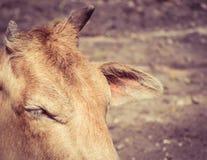 Ono przygląda się up, rogi i ucho krowy zakończenie Fotografia Royalty Free