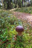 Ono rozrasta się w lesie na zielonym tle, borowik edulis Zdjęcia Stock