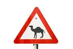 Ono wystrzega się wielbłądy Zdjęcia Royalty Free