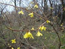 Ono zgadza się z ja że żółci kwiaty są bardzo piękni w wiośnie, gdy śnieżny właśnie przychodził puszek? obraz stock
