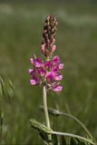 Onobrychisviciifolia Royalty-vrije Stock Afbeeldingen