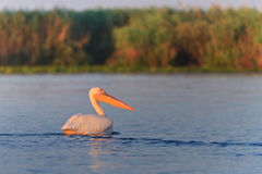 onocrotalus空白pelecanus的鹈鹕 免版税图库摄影