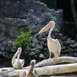 Onocrotalus белого пеликана, Pelecanus, также известное как восточный белый пеликан, румяный пеликан или белый пеликан птица в pe Стоковые Изображения RF