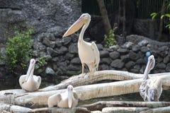 Onocrotalus белого пеликана, Pelecanus, также известное как восточный белый пеликан, румяный пеликан или белый пеликан птица в pe Стоковые Изображения