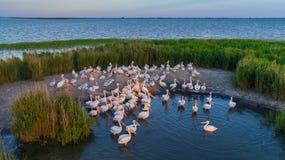 Onocrotalus del pelecanus de los pelícanos blancos en el delta Rumania de Danubio Foto de archivo libre de regalías