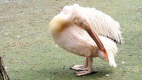 Onocrotalus del Pelecanus también conocido como el pelícano blanco del este almacen de video