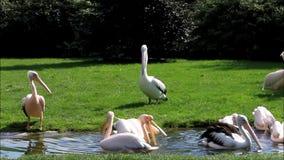 onocrotalus do Pelecanus do pelicano vídeos de arquivo