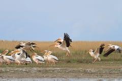Onocrotalus do pelecanus dos pelicanos brancos Imagens de Stock Royalty Free