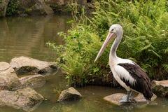 Onocrotalus do Pelecanus igualmente conhecido como o pelicano branco oriental imagens de stock