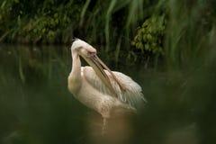 Onocrotalus en el parque zoológico, pelícano a solas del Pelecanus del pelícano que prepara sus plumas, pájaro rosáceo hermoso ce imagen de archivo libre de regalías