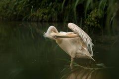 Onocrotalus en el parque zoológico, pelícano a solas del Pelecanus del pelícano que prepara sus plumas, pájaro rosáceo hermoso ce imagen de archivo