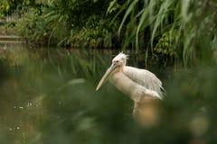 Onocrotalus en el parque zoológico, pelícano a solas del Pelecanus del pelícano que prepara sus plumas, pájaro rosáceo hermoso ce fotos de archivo