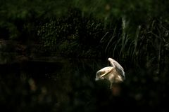 Onocrotalus en el parque zoológico, pelícano a solas del Pelecanus del pelícano que prepara sus plumas, pájaro rosáceo hermoso ce fotos de archivo libres de regalías