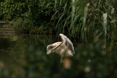 Onocrotalus en el parque zoológico, pelícano a solas del Pelecanus del pelícano que prepara sus plumas, pájaro rosáceo hermoso ce imagenes de archivo