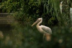 Onocrotalus en el parque zoológico, pelícano a solas del Pelecanus del pelícano que prepara sus plumas, pájaro rosáceo hermoso ce imágenes de archivo libres de regalías