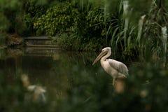 Onocrotalus en el parque zoológico, pelícano a solas, pájaro rosáceo hermoso cerca de la charca, pájaro del Pelecanus del pelícan imagen de archivo libre de regalías