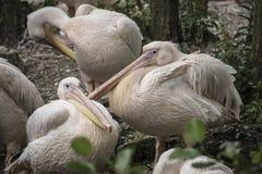 Onocrotalus Pelecanus белого пеликана также известное как восточное Wh Стоковые Фотографии RF