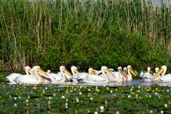 Onocrotalus pelecanus белого пеликана Стоковые Фото