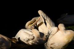 onocrotalus van pelikaanpelecanus Royalty-vrije Stock Foto's