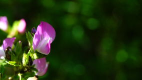 Ononis spinosa zdjęcie wideo