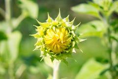Onontloken bloem van een zonnebloem Stock Foto