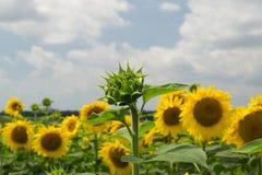 Onontloken die zonnebloem op de achtergrond uit nadruk wordt geblazen Royalty-vrije Stock Foto