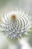 Onopordum acanthium Lizenzfreie Stockfotos
