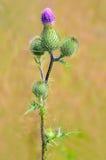 Onopordum acanthium Blume Stockbilder