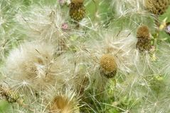 Mass of thistle seeds about to scatter. Onopordum acanthium or Cottonthistle seeds lighting up in the sun as they are about to scatter Stock Photos