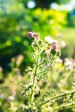 Onopordum bonito - erva daninha espinhosa verde no por do sol Fotografia de Stock