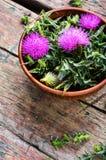 Onopordum en herbalism distel royalty-vrije stock afbeeldingen