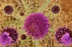 Onopordumcarduelium för lösa blommor som ses från över, Gran canaria Fotografering för Bildbyråer