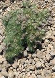 Onosma multivalent op rotsachtige kalksteenhellingen van Krimmoun Stock Fotografie