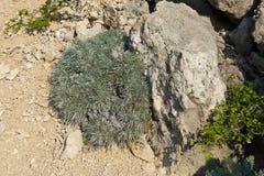 Onosma på steniga kalkstenlutningar av den Crimean Mounen Arkivbilder