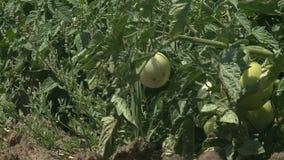 Onrijp fruit van tomaten stock videobeelden