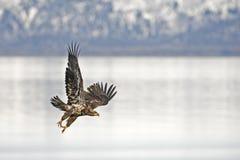Onrijp Kaal Eagle dat naar water in Kenai-Schiereiland, Ala duikt Stock Fotografie