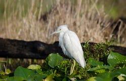 Onrijp wit Weinig Blauwe Reiger, Okefenokee-Toevluchtsoord van het Moeras het Nationale Wild royalty-vrije stock fotografie