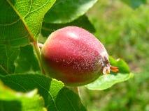 Onrijpe appel op een boom Stock Foto