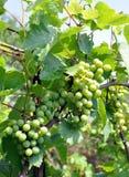 Onrijpe druiven Royalty-vrije Stock Foto's