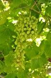 Onrijpe druiven Stock Afbeelding