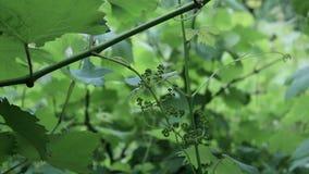 Onrijpe druiven stock footage