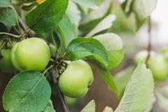 Onrijpe groene appelen op een boomtak op een de zomer zonnige dag stock afbeeldingen