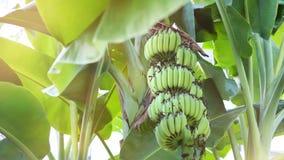 Onrijpe groene banaan op banaanboom in de tuin Stock Afbeelding