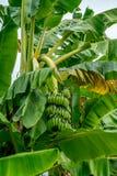 Onrijpe groene banaanbos Stock Afbeelding
