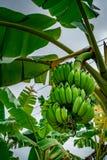Onrijpe groene banaanbos Royalty-vrije Stock Foto