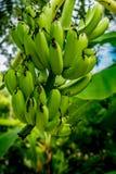 Onrijpe groene banaanbos Stock Foto's