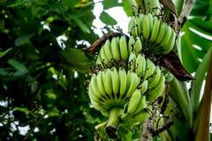 Onrijpe groene banaanbos Royalty-vrije Stock Afbeelding