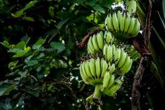 Onrijpe groene banaanbos Stock Fotografie