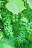 Onrijpe groene druiven. Stock Afbeelding